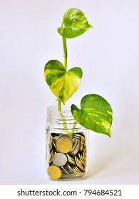 A branch of money plant (Epipremnum aureum) in a glass jar containing Indian Rupee coins.