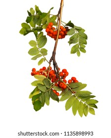 Branch of mountain ash with ripe berries and green foliage on white isolated background