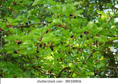 branch of mulberry tree with black ripe and red unripe berries