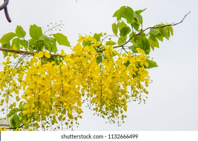 The branch of Multiply or Ratchaphruek Cassia Fistula flowers (Dok koon)