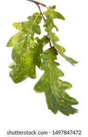 branch with oak leaves on an isolated white background, close-up.