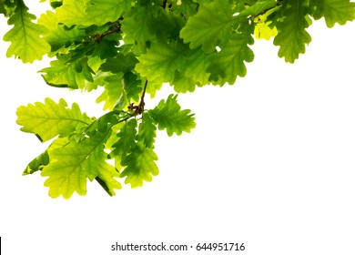 Branch of an oak tree with green leaves hanging from above, on a white background 1