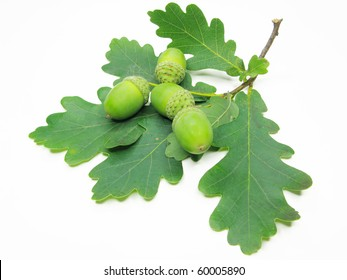 branch of oak tree leaves and nuts isolated on white background