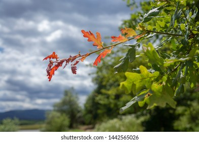 A branch of an oak turned red ahead of time, the rest of the tree is green. The impressive picture is thought-provoking. Background for text on the theme of the uniqueness of each person.