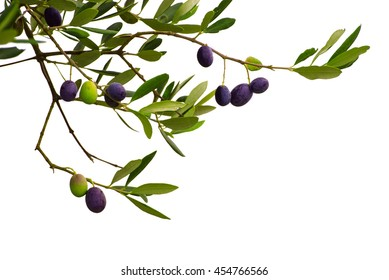 Branch of olive tree with fruits and leaves isolated on white background. Can be used as a design element for postcards and packages