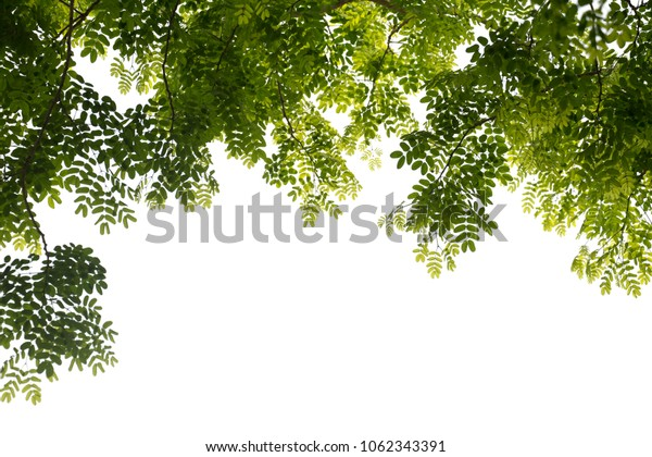 Branch on white background. Leaves on white background.