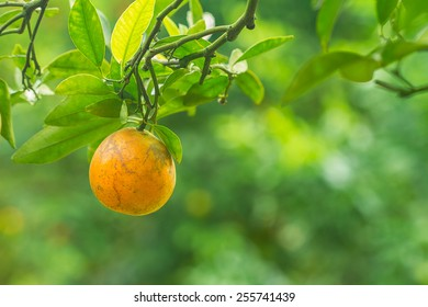 branch orange fruits with green leaves in nature background