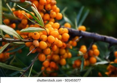 branch of orange sea buckthorn berries
