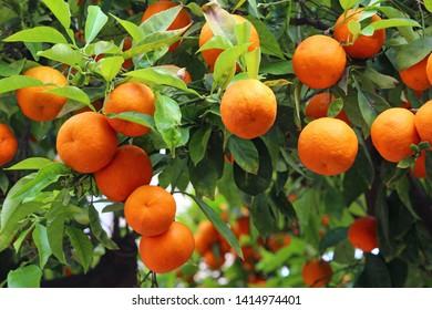 branch of an orange tree