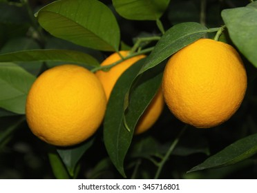 branch orange tree fruits and green leaves