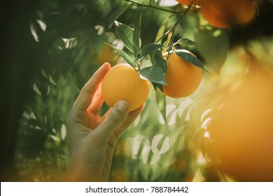 branch orange tree fruits green leaves and bokeh.Agriculture concept.