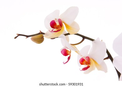 Branch of orchid flowers and buds.