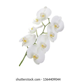 branch of orchid isolated