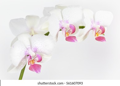 The branch of orchid on a grey background