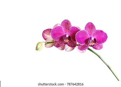 branch of orchids isolated  on white background