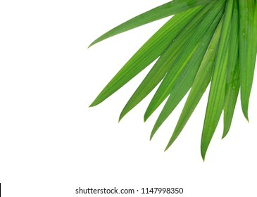 branch of palm with water drops isolated on white background
