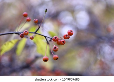 Branch with paradise apples in the fall. Beautiful autumn background with the small apples ripening on a branch horizontally. Close up. Macro.  Malus prunifolia. Rosaceae Family. Copy space