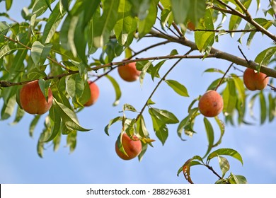 Branch of a peach tree with ripe fruits against the blue sky