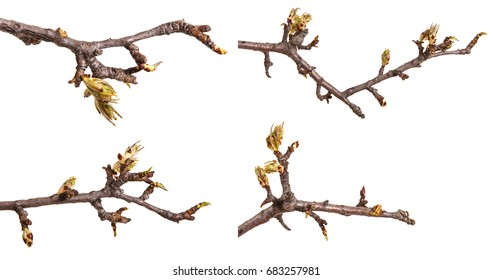 A branch of a pear with blossoming buds. Isolated on white background. Set