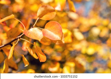 Branch pear with red yellow foliage, autumn leaves on blue sky background at fall time. Coloring and processing photo. Toned. Shallow depth of field