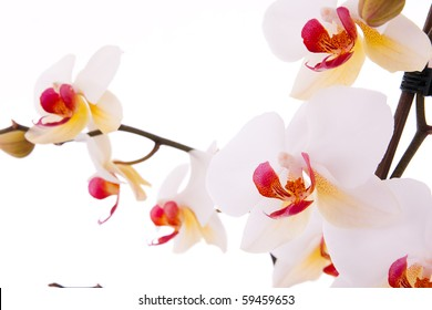 Branch of phalaenopsis with flowers and buds.