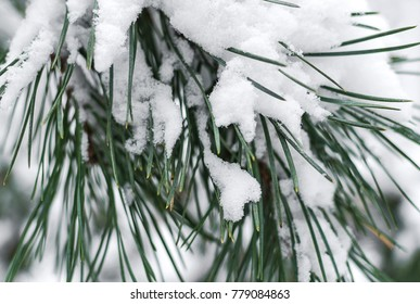 A branch of pine under the snow