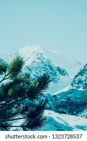 Branch of pine in winter forest on background of snowy mountain