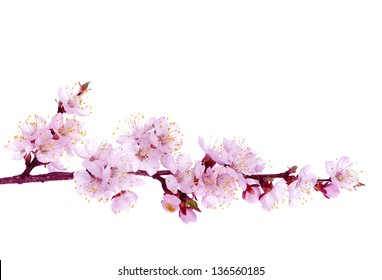 Branch with pink blossoms isolated on white