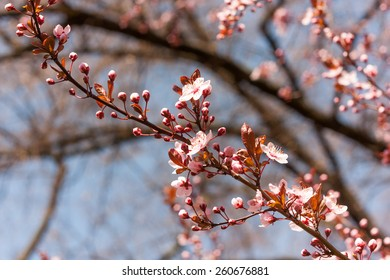 Branch with pink blossoms in a park. Is some kind of wild plum.