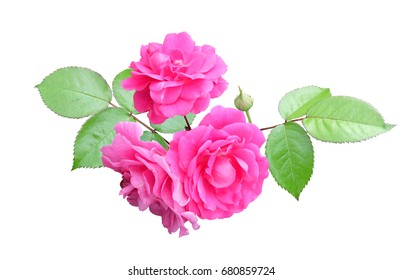 Branch of pink climbing roses with leaves isolated on white background with clipping path.