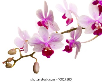 A branch of a pink orchid against a white background