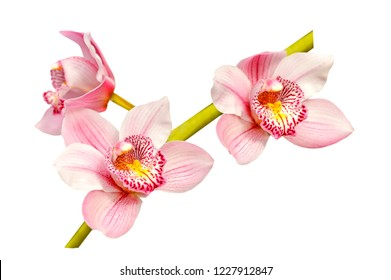 Branch of pink orchid flovers isolated on white background