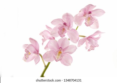 branch pink orchids on white background