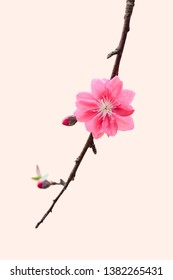 Branch of Pink peach blossom isolated