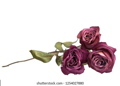 Branch of pink roses on white background isolated close up, border for greeting card, holiday banner, festive poster, design element for goods box, product labels, pattern in beautiful pastel color