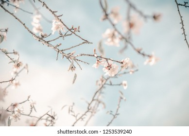 Branch of pink spring blossom almond tree against blue sky.