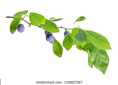 Branch of the plum with ripe fruits and leaves on a white background