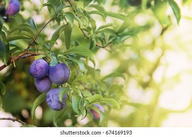 Branch of plum tree with sun light