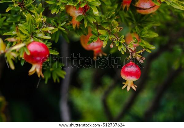 branch of pomegranate