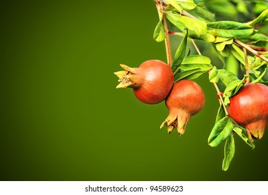 Branch of pomegranate tree with small red fruits (with space for your text)
