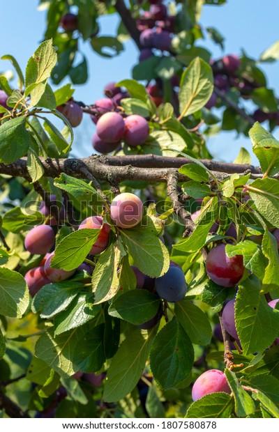 branch-prunes-plum-tree-600w-1807580878.