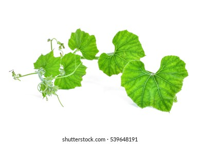 branch of pumpkin leaf isolated on white background