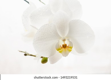 Branch of pure white orchid in drops on white background. Selective focus