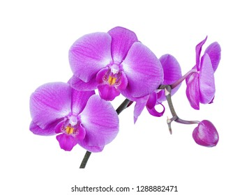 Branch with purple-pink flowers of moth orchid isolated on white background