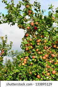 A branch with a lot of red apples