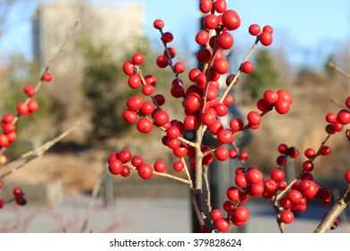 A branch of red berries in a city park