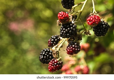 Branch with red and black riping brambleberries in summersun - shallow depth of field
