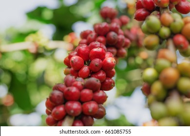 Branch of red coffee beans