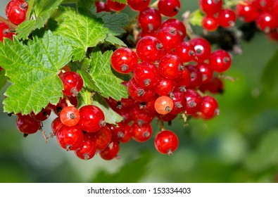 branch of red currant berries