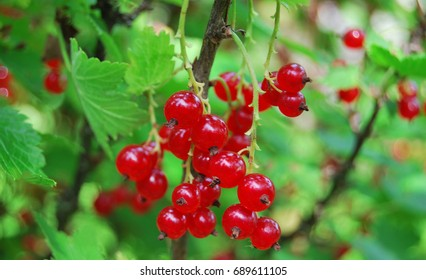 Branch of red currant berries on a bush